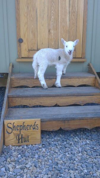 Lamb at Shepherds Hut