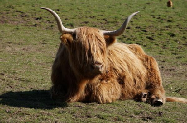 Highland cows and other animals at Craighead