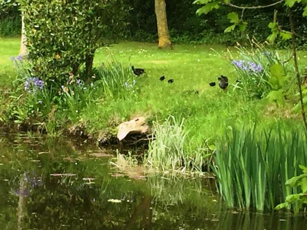 Willow Cottage pond and moorhens