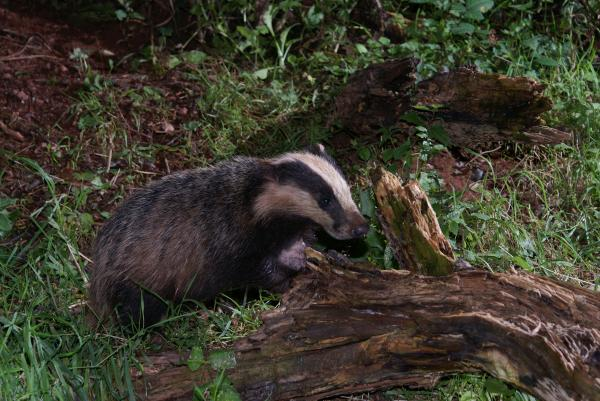 Guests very likely to see all sorts of wildlife including badgers