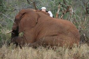 elephant immobilisation