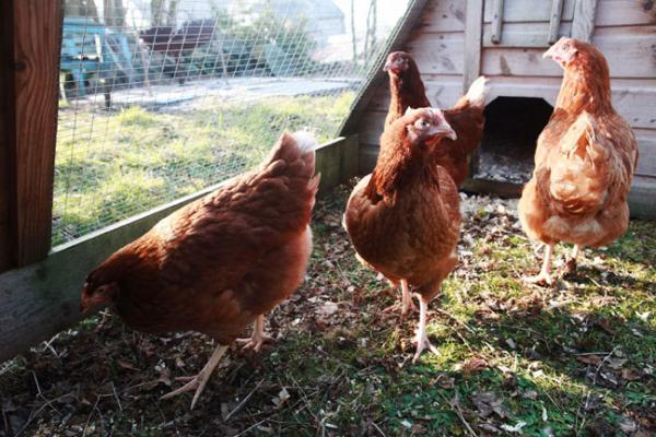 chickens at Blue House