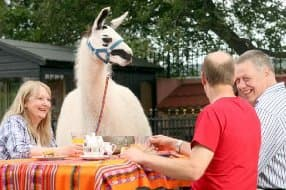 spend time with llamas