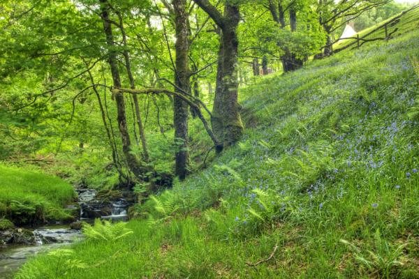 Bluebells by the river